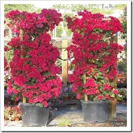 زراعة نبات الجهنمية(المجنونة Bougainvillea BougainvilleaTrellis15G_lg1-260x300_thumb[2].jpg?imgmax=800